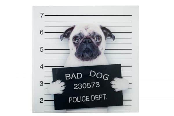 Obraz Bad Dog Mops sklo 40 x 40 cm